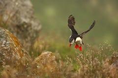 Puffino dall'isola norvegese di Runde Uccello variopinto Uccello bianco nero Puffino di volo Immagine Stock