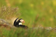 Puffino dall'isola norvegese di Runde Uccello variopinto Uccello bianco nero Puffino di volo Fotografia Stock Libera da Diritti