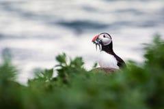 Puffino delle isole di Farne con le anguille Immagini Stock Libere da Diritti