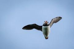 Puffino di volo alle isole di Farne Fotografia Stock Libera da Diritti