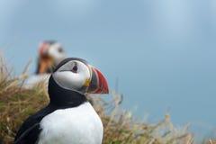 Puffino, Dyrholaey, Islanda del sud fotografie stock