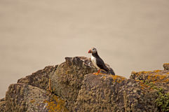Puffino sulle rocce    arctica del fratercula Fotografia Stock Libera da Diritti