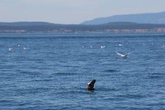 Puffins και seagulls στη θάλασσα Στοκ Φωτογραφία