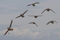 Puffins, νησιά Farne στοκ φωτογραφίες