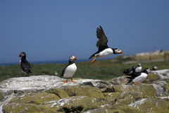 Puffins Royalty Free Stock Photography