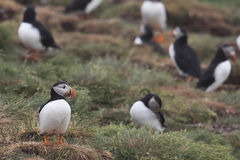 Puffins. Atlantic Puffin colony in Newfoundland Royalty Free Stock Photo