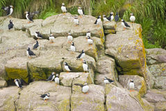 Puffins Stock Photography