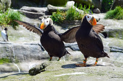 Puffins Stock Images