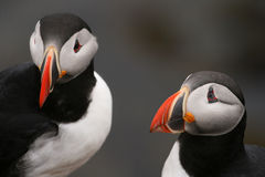 Puffins. From Látrabjarg (Iceland Royalty Free Stock Photo