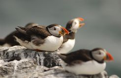 Puffins. A Group of Puffins royalty free stock images
