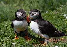 puffins Photos stock