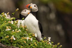puffins Photo stock