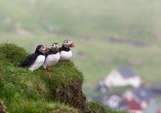 puffins Arctica Fratercula Στοκ φωτογραφία με δικαίωμα ελεύθερης χρήσης