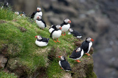 Puffins on a cliff Stock Photography
