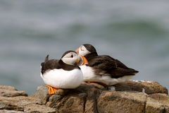 Puffins on a cliff edge on The Farne Islands Royalty Free Stock Photography