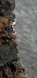 Puffins on the cliff Stock Image