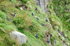 Puffins on a cliff near Husavík, Iceland stock photo