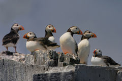 Puffins on the cliff top. Puffins gather on a cliff top on the Farne Islands, Northumberland England, their summer abode Royalty Free Stock Photo