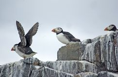 Puffins on Cliff Top. Puffins on cliff top with one taking off Royalty Free Stock Image
