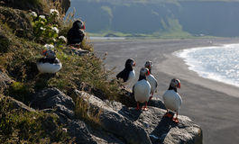 Puffins on the cliffs Stock Images