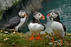 Puffins on the Clifftop. Two Puffins admire anothers catch on the cliffs of Skomer Island in Wales, UK Stock Photography