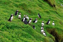 Puffins colony, Iceland. Puffins colony on the hill, Iceland Royalty Free Stock Image