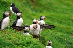 Puffins colony, Iceland. Puffins colony on the hill, Iceland Stock Photography
