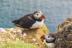 Puffins family - Latrabjarg, Iceland. Royalty Free Stock Images