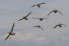 Puffins, Farne Islands Stock Photos