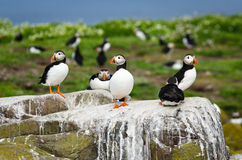 Puffins on the Farne Islands Royalty Free Stock Photo