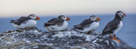 Puffins at the Farne Islands stock image