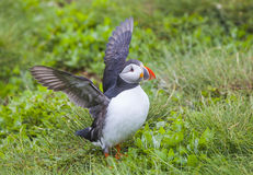 Puffins at the  Farne Islands Stock Photography