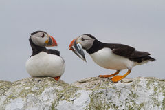 Puffins, Farne Islands Stock Image