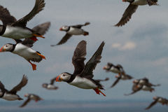 Puffins, Farne Islands Stock Photography