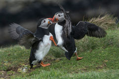 Puffins Fighting royalty free stock image