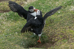Puffins Fighting. Two puffins fighting, it almost looks like they are dancing, but this is aggressive royalty free stock photography