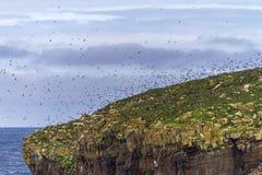 Puffins flying over Newfoundland island