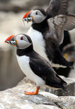 Puffins (Fratercula arctica) Royalty Free Stock Images