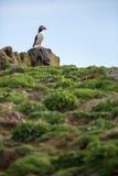 Puffins (Fratercula arctica) Royalty Free Stock Photos