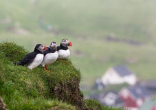Puffins. Fratercula arctica. Royalty Free Stock Photography