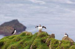 Puffins. Fratercula arctica. Three Puffins on a cliff on Faroe Islands stock photo