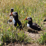 Puffins in grass field on Skomer island Royalty Free Stock Images
