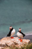 Puffins - Grimsey Island. Arctic Circle - Iceland Royalty Free Stock Photography