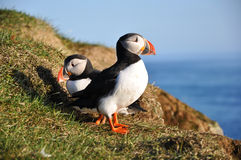 Puffins, Iceland. Puffins standing on a grassy cliff, sea as background, Latrabjarg, north Iceland