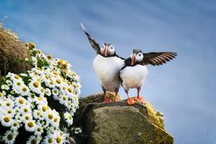 Puffins in Iceland. Seabirds on sheer cliffs. Birds on the Westfjord in Iceland. Composition with wild animals.