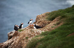 Puffins on Icelandic Cliff Stock Image