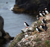 Puffins on Icelandic Cliff Royalty Free Stock Photos