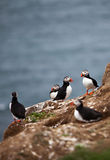 Puffins on Icelandic Cliff Stock Photography