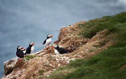 Puffins on Icelandic Cliff Royalty Free Stock Photography