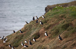 Puffins on Icelandic Cliff Stock Photo